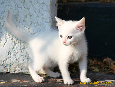 kitten-picture-beautiful-cute-white-kitty