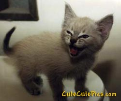 laughing-kitten-picture