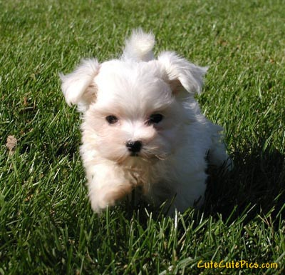 Maltese Puppies on Of Puppies  Kittens  Baby Animals    Cute Puppies Goofing Around