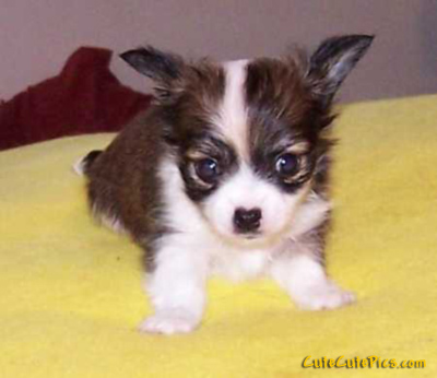 cute little chihuahua puppy pic