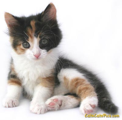 very-cute-kitten