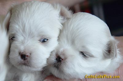 very-cute-maltese-puppies