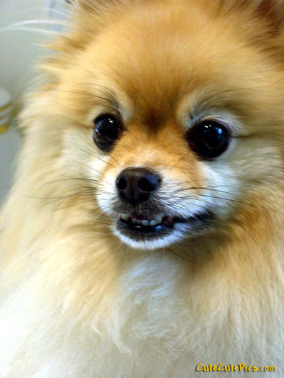 very-cute-pomeranian-puppy