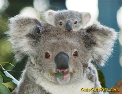 baby-koala-with-mommy