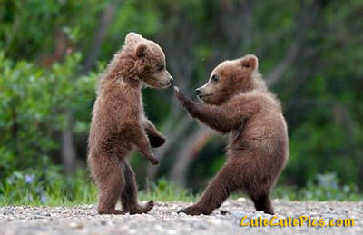 cute-bear-cubs-fighting