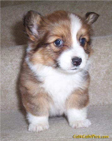 cute-corgi-puppy-pic