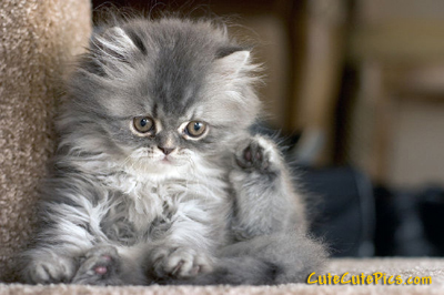 cute-fluffy-kitten