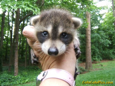 cute-raccoon-photo