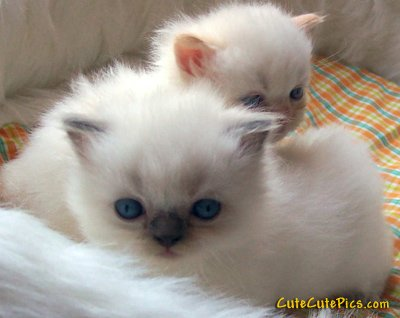 really-cute-kittens-white