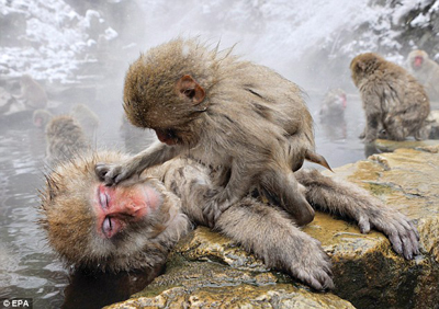 monkey-in-hotspring1
