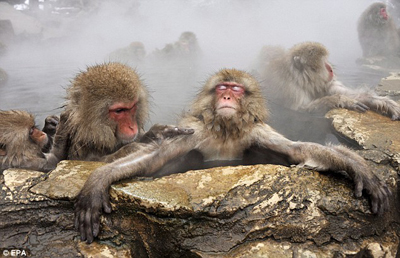 monkey-in-hotspring3