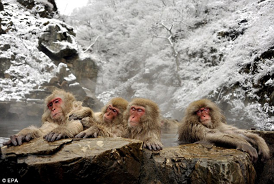 monkey-in-hotspring4