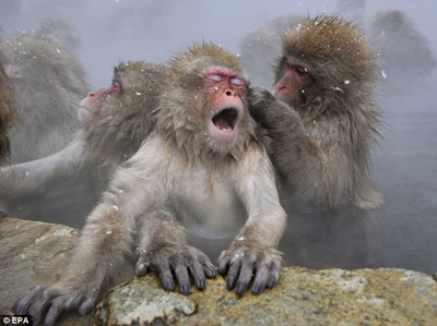 monkey-in-hotspring5