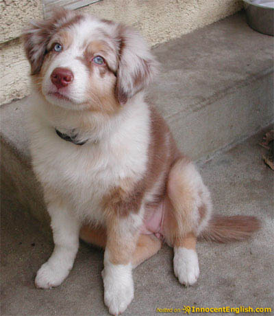 Australian Shepherd Puppies on Australian Shepherd Puppies Are Noted Mostly For Their Physical Beauty