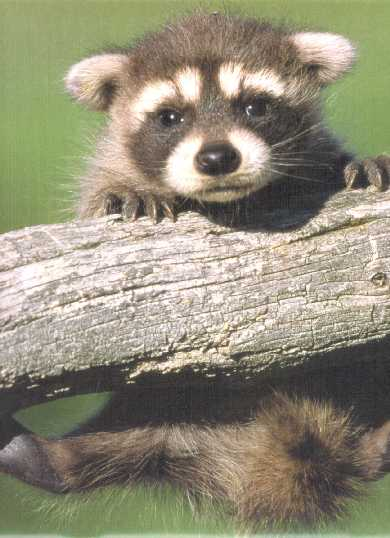cute baby racoon on tree limb