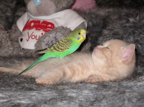 cute kitten and bird sleeping together
