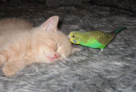 parkeet kissing kitten: cute parakeet bird and kitten cat playing and sleeping