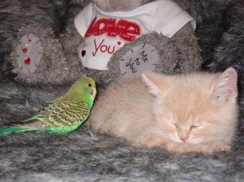 Very cute parakeet bird and kitten sleeping
