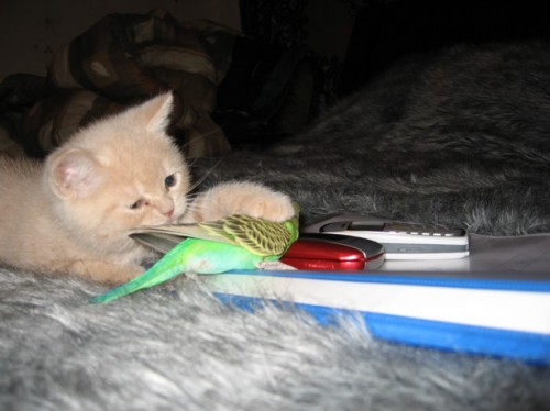 cute kitten and parakeet playing