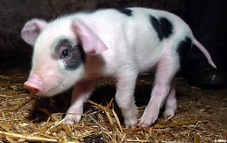 cute baby pig with heart patch mark